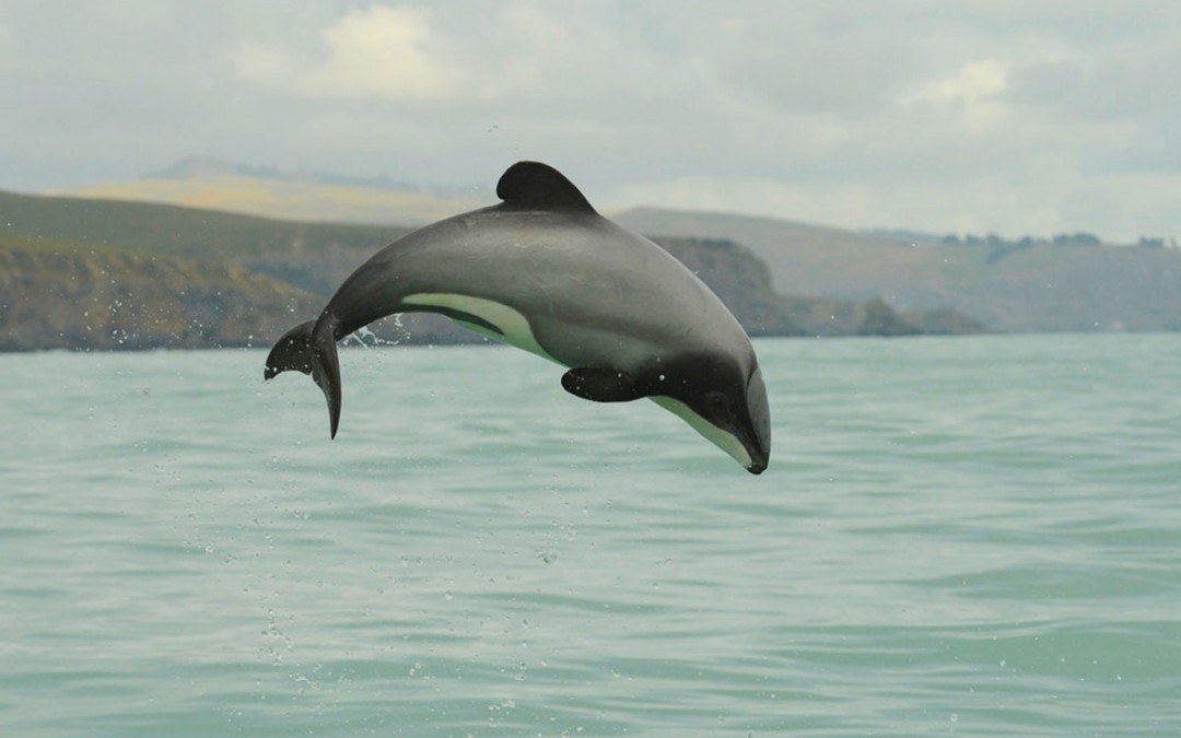 Maui Dolphin Day -8th March